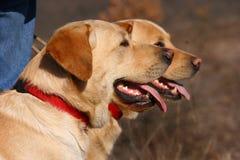Dos perros de Labrador con el neckpiece rojo Imagenes de archivo