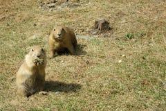 Dos perros de las praderas de cola negra vigilantes (ludovicianus del Cynomys) fotografía de archivo libre de regalías