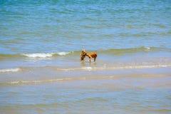 Dos perros de los amigos están jugando en el mar Foto de archivo