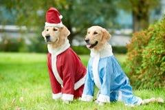 Dos perros de los perros perdigueros de oro en la ropa del Año Nuevo Imagen de archivo
