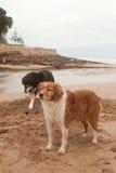 Dos perros de ovejas de la granja que cavan y que juegan al lado de una laguna de marea en imagen de archivo