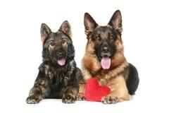 Dos perros de pastor alemán con el corazón rojo de la tarjeta del día de San Valentín Fotografía de archivo
