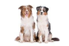 Dos perros de pastor australianos Foto de archivo libre de regalías