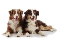 Dos perros de pastor australianos Fotografía de archivo libre de regalías
