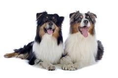 Dos perros de pastor australianos Imágenes de archivo libres de regalías