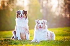 Dos perros de pastor australianos en luz de la puesta del sol Foto de archivo