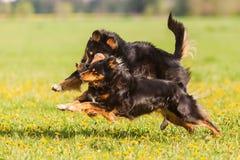Dos perros de pastor australianos que corren en el prado Foto de archivo