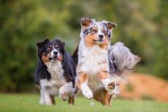 Dos perros de pastor australianos que corren para un juguete Foto de archivo libre de regalías
