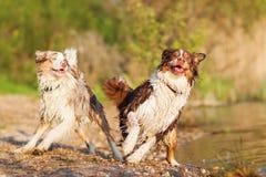 Dos perros de pastor australianos que juegan en un lago Foto de archivo
