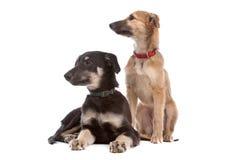 Dos perros de perrito del whippet imágenes de archivo libres de regalías