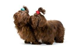 Dos perros de regazo en estudio Foto de archivo