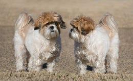 Dos perros de Shih-Tzu fotos de archivo