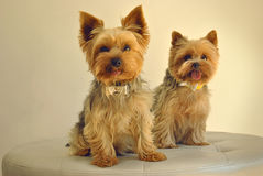 Dos perros de Yorkshire Foto de archivo