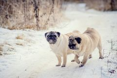 Dos perros del barro amasado en el paseo en verano imagen de archivo