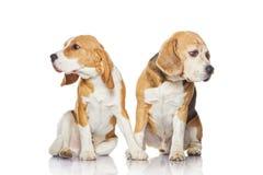 Dos perros del beagle aislados en el fondo blanco. imagen de archivo