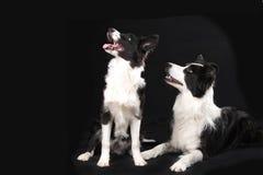 Dos perros del border collie en fondo negro Imagenes de archivo