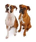 Dos perros del boxeador aislados en blanco Foto de archivo libre de regalías
