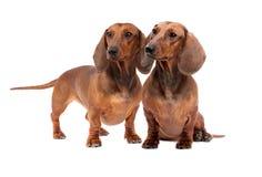 Dos perros del Dachshund Imagen de archivo