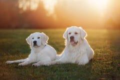 Dos perros del golden retriever al aire libre en puesta del sol Fotos de archivo
