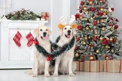 Dos perros del golden retriever que presentan dentro por Año Nuevo Imagen de archivo