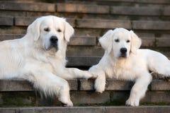 Dos perros del golden retriever que se acuestan en las escaleras Imágenes de archivo libres de regalías