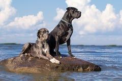 Dos perros del mastín Imagen de archivo
