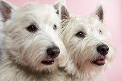 Dos perros del oeste del terrier de la montaña en estudio Imagen de archivo libre de regalías