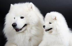 Dos perros del samoyedo Fotos de archivo libres de regalías