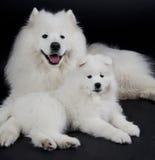 Dos perros del samoyedo Fotografía de archivo libre de regalías