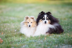 Dos perros del sheltie al aire libre en otoño imagen de archivo libre de regalías