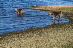 Dos perros del terrier de Airedale que juegan en el agua fotografía de archivo libre de regalías