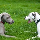 Dos perros divertidos en campo Imágenes de archivo libres de regalías