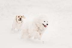 Dos perros divertidos - perro y samoyedo de Labrador que juegan y que corren al aire libre en nieve, Imagen de archivo libre de regalías