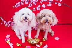 Dos perros en el ajuste festivo chino del Año Nuevo en fondo rojo Fotos de archivo