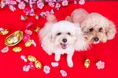 Dos perros en el ajuste festivo chino del Año Nuevo en fondo rojo Foto de archivo libre de regalías
