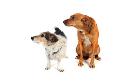 Dos perros en el estudio Foto de archivo libre de regalías