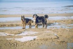 Dos perros en el mar Báltico Fotos de archivo