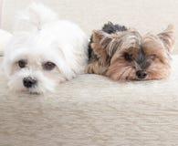 Dos perros en el sofá Fotografía de archivo libre de regalías