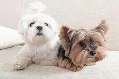 Dos perros en el sofá Foto de archivo libre de regalías