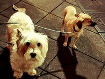Dos perros en la acera Fotografía de archivo