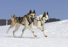 Dos perros en la montaña Fotos de archivo