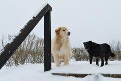 Dos perros en la nieve Imagen de archivo