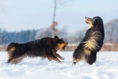 Dos perros en la nieve Fotografía de archivo
