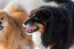Dos perros en la nieve Fotos de archivo libres de regalías