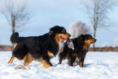 Dos perros en la nieve Imágenes de archivo libres de regalías