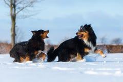 Dos perros en la nieve Imagen de archivo libre de regalías