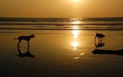 Dos perros en la playa en la puesta del sol Imágenes de archivo libres de regalías