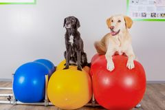 Dos perros en terapia física Fotografía de archivo
