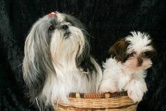 Dos perros en una cesta 3 fotografía de archivo libre de regalías