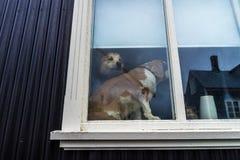 Dos perros en una ventana con una que mira hacia fuera Imagen de archivo libre de regalías